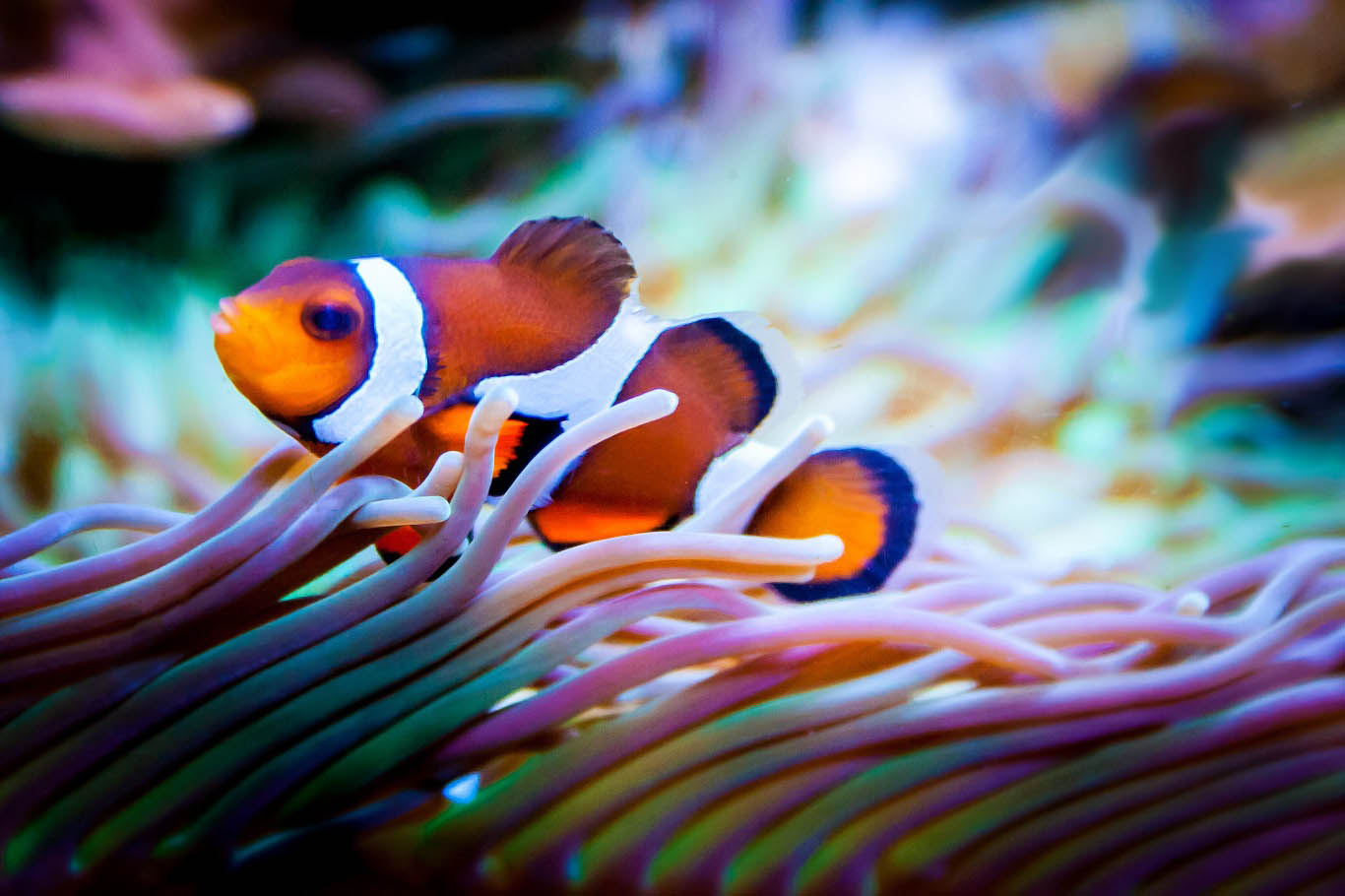 clown-fish.jpg