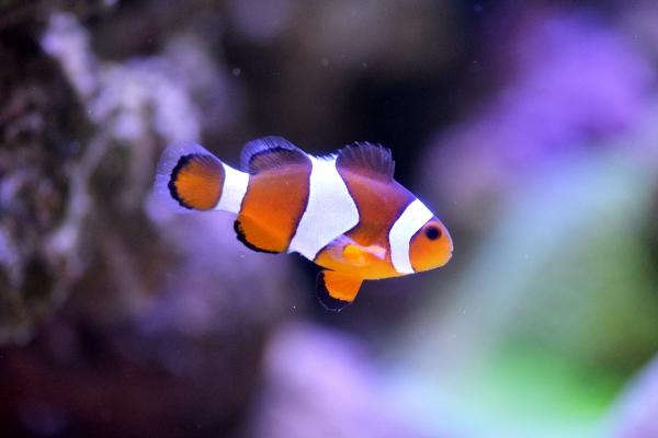clownfish-145391004A9DD42-B021-B164-7A03-599B4127EF94.jpg